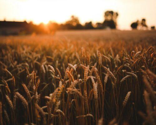 Зіпсованого на мільйони зерна виявили на Кіровоградщині.